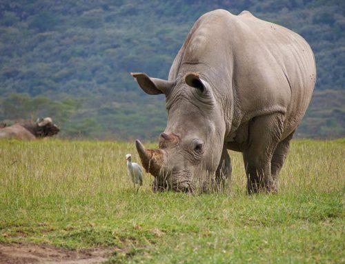 Murió el último rinoceronte blanco del norte macho del mundo