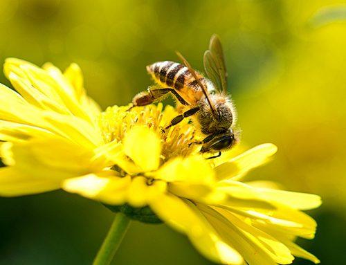 Nuevo estudio de Harvard apunta a los neonicotinoides como causa del declive mundial de abejas